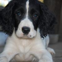 Cucciolo di Springer Spaniel